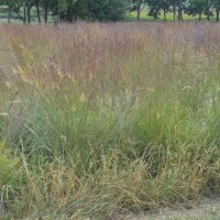 Grasses-Miller-Seed-unspecified