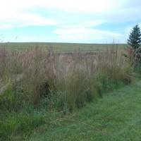 Grasses-Miller-Seed-unspecified-23