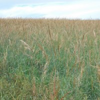 Grasses-Miller-Seed-unspecified-6